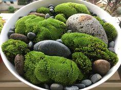 #Cheriechi'sgarden #Mossgardenbycheriechi #Moss: Cratoneuron filicinum (Hedw.)Spruce. 牛角苔