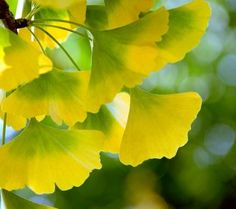 I love ginkgo leaves: