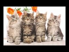Cats Kittens Animals Backgrounds Pets Wallpapers Myspace Widescreen and High Resolution Wallpapers for Your Computer Desktop. Cats And Kitte. Cute Kittens, Fluffy Kittens, Kittens Meowing, Kittens Playing, Maine Coon Kittens, Tabby Cats, Cat Wallpaper, Wallpaper Gallery, Kitty Cats
