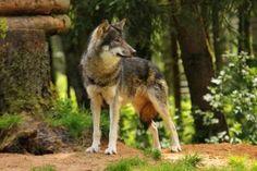 Wolf Pose 21 by landkeks-stock on DeviantArt Wolf Poses, Photo Canvas, Shutter Speed, Wood Carving, Animal Photography, Just Go, Kangaroo, Deviantart