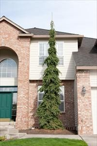 Weeping white spruce in front of house