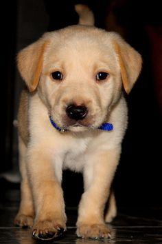 yellow labrador retriever puppies 3