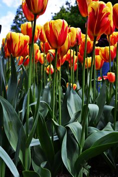 Tulpe in Nederland