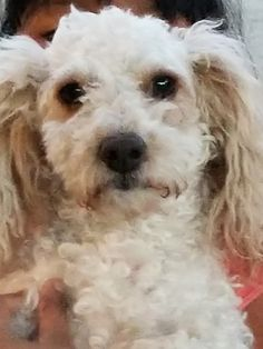 Summer is an adoptable Dog - Poodle & Maltese Mix searching for a forever family near Fullerton, CA. Use Petfinder to find adoptable pets in your area.