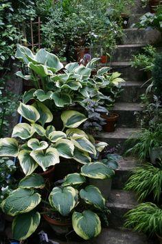 階段のギボウシ