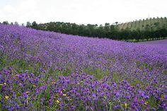paisagem lilás