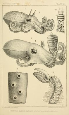 Octopus bairdii, Octopus lentus, Alloposus mollis. Pt. 2 - The cephalopods of the north-eastern coast of America / - Biodiversity Heritage Library