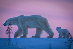With the sun setting, the mother polar bear leads the way as her small cubs follow on a crisp winter day in Wapusk National Park, Canada.
