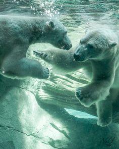 Polar Bear Exhibit, Cincinnati Zoo, Cincinnati, OH. Animals Of The World, Animals And Pets, Baby Animals, Funny Animals, Cute Animals, Cute Creatures, Beautiful Creatures, Animals Beautiful, Cute Polar Bear