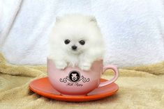 I'm not usually a fan of Pomeranians but this one is so cute!