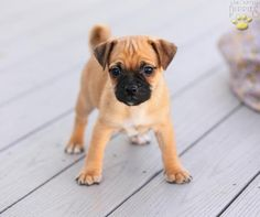 Dave's Jug (Jack Russell/Pug mix) THIS IS THE KIND I'VE BEEN SEARCHING FOR. OMG.