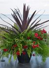 Rio Dipladenia planter with Red Star Spike Centre and ferns