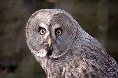 Grey Owl Stare