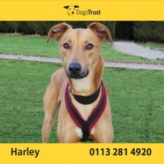 Harley is a very handsome 18 month old Lurcher at Dogs Trust Leeds. He is sociable with both dogs and people!