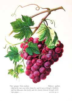 Grapes, Vintage 1957 Botanical Print with Bible Verse Book Plate