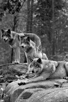 Wolf Photos, Wolf Pictures, Animal Pictures, Nature Animals, Animals And Pets, Cute Animals, Wolf Spirit, Spirit Animal, Beautiful Creatures