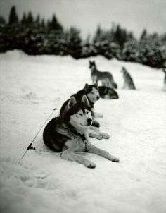 Alaskan sled dog teams have been the single  most important transportation during the cold periods in Alaska. They have been used to transport goods across Alaska where no other could go. The natives as well as the Alaskan population used sled do teams for transportation and warmth during the harsh climates of winter in Alaska. Not only can they transport goods, but sled dogs have also been tough and loyal companions. Now instead of sled dogs people are starting to use snowmobiles.