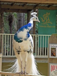 Half albino peacock.