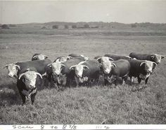 group of range bulls pictured in 1961 at Par-Ker Ranch, in northeast ...
