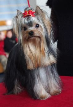 long yorkie coats are so gorgeous