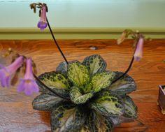 lysionotus pauciflorus pflanzen pinterest familien. Black Bedroom Furniture Sets. Home Design Ideas