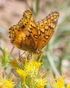 Variegated Fritillary Butterfly Photo Nature Wall Art Macro Insect Photography Print
