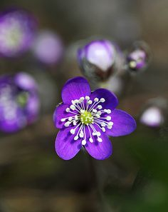 Anemone hepatica - First of the spring