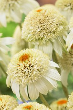 Echinacea 'Milkshake Beautiful gorgeous pretty flowers