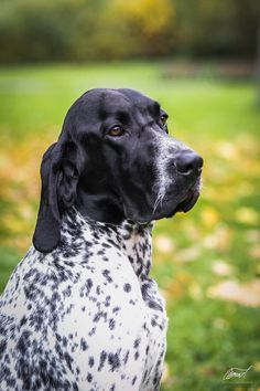 Braque d'Auvergne. Similar to or mix between GSP and Blue Tick coonhound