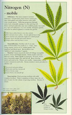 how to tell if your plant is experiencing a deficiency in nitrogen  (marijuana cannabis)