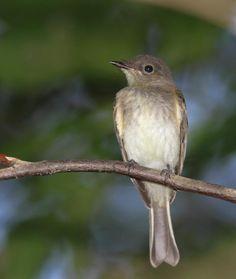 Eastern Phoebe (Sayornis phoebe) On a branch