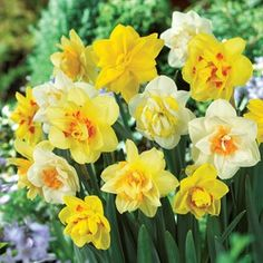 Daffodil Double Mix 30 Bulbs Beautiful complimenting colours for SpringA gorgeous double-flowering Daffodil with attractive coloured cups. A vision of loveliness at the beginning of Spring. http://www.MightGet.com/january-2017-11/daffodil-double-mix-30-bulbs.asp