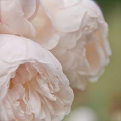 Romantic Flowers - Rodin Peonies - Paris Decor - French Photography - Pink Pastel Floral Photo - Garden Art Print - Soft Light - 5 x 5 Print