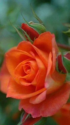 New Flowers Orange Rose 48 Ideas Beautiful Rose Flowers, Pretty Roses, Love Rose, Exotic Flowers, My Flower, Beautiful Flowers, Orange Flowers, Pink Roses, Orange Color