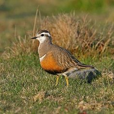 I ❤ birds . . . Eurasian Dotterel - A visit to the UK in spring can produce some excellent birds with a great selection of difficult to find European specialities, amongst which, the superb Eurasian Dotterel (this is a female) is likely to be a favourite (Mike Watson)