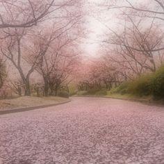 Fallen Sakura road, looks so dreamy