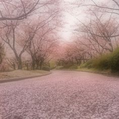 Fallen Sakura road, looks so dreamy