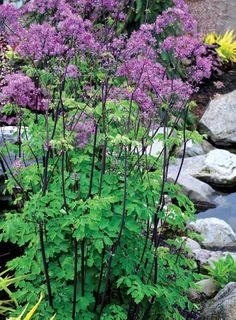 Thalictrum 39 black stockings 39 rhs gardening thalictrum for Thalictrum rochebrunianum rhs