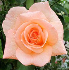 Apricot Nectar: Floribunda