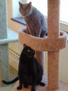 Two awesome seniors, they are sharing a cage in a county shelter and need help finding a home! C-58889 Fidget is an adoptable Domestic Short Hair Cat in Mount Holly, NJ Meet Fidget! This sweet gray kitty was surrendered with his brother Gabriel (C-58886) for no fa ... ...Read more about me on @Petfinder.com.com.com