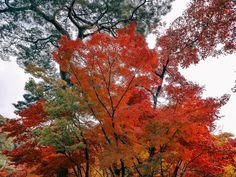 Fall Foliage of Eikando Zenrinji, Kyoto. Kyoto, Travel Photos, Tours, Fall, Plants, Autumn, Travel Pictures, Fall Season, Plant