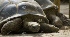 Qual'è la differenza tra Tartaruga e Testuggine? In biologia, secondo la classificazione scientifica degli organi viventi, l'ordine Testudines...