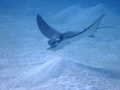 Spotted eagle ray - Cayman Islands