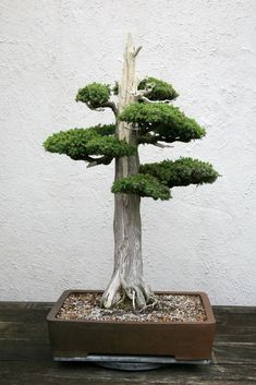 Juniper Bonsai, Formal Upright style (Chokkan).BONSAI : More Pins Like This At FOSTERGINGER @ Pinterest