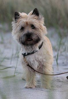 Cairn Terrier on beach2 by Rasmus Damgaard Nielsen on 500px