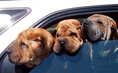 Anziani in vacanza: i consigli per viaggiare con il cane Consigli e suggerimenti per viaggiare con il cane e con l'animale domestico. Scopri tutte le regole e i comportamenti per viaggiare con il cane in treno, il cane in aereo, il cane in auto. Le pratich #cane #anziani #viaggiare