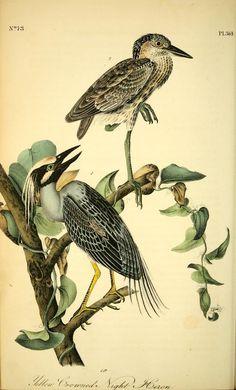 v 6 - The birds of America : - John James Audubon -- Yellow Crowned Night Heron Audubon Prints, Audubon Birds, Vintage Birds, Vintage Art, Vintage Paintings, Vintage Bird Illustration, Nature Illustration, Birds Of America, John James Audubon