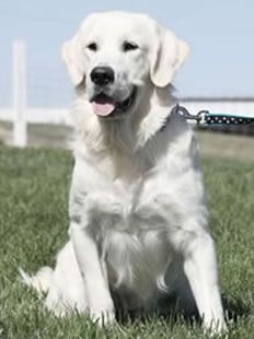 White golden retriever. One day I will have one