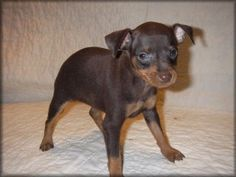 Miniature Pincher Puppies For Sale in Louisiana Min Pin Puppies ...