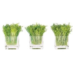 NDI Alfalfa Sprours Glass Cube, Set Of 6 Green By ($219) ❤ liked on Polyvore featuring home, home decor, floral decor, artificial flora, glass home decor, flower home decor, green home decor and flower stems